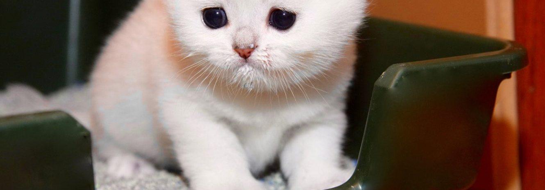 Как приучить котенка к лотку в квартире